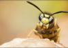 imagen Remedios caseros para picadura de avispa